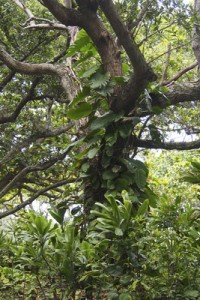 Philodendron climbing a tree
