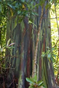 Rainbow Painted Eucalyptus
